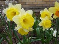 DaffodilsWI