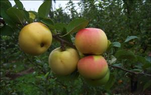 Apples_november2015