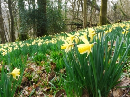 DaffodilsP1080610GAgg